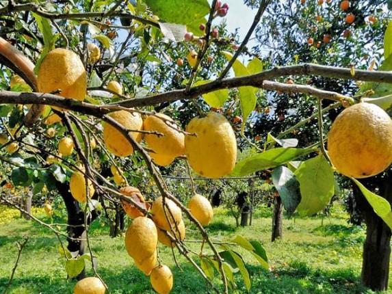 Recolección de árboles frutales